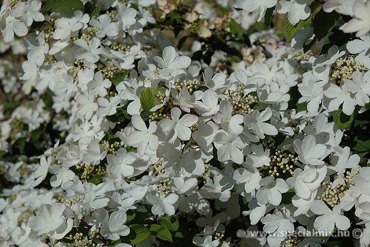Viburnum plicatum PINK BEAUTY