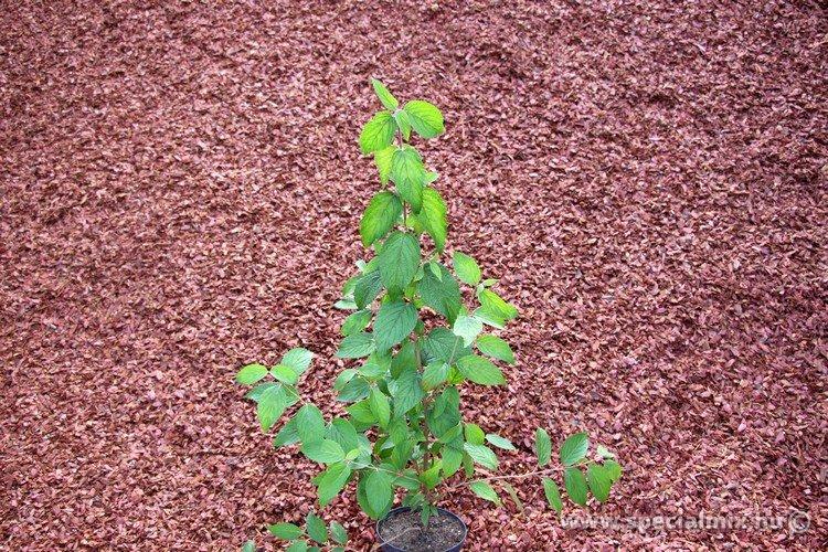Viburnum plicatum SHASTA