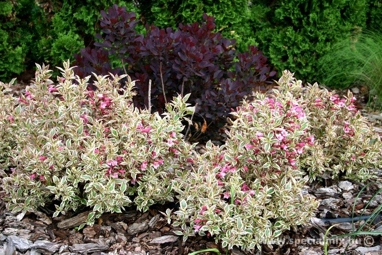 Weigela florida MONET ®