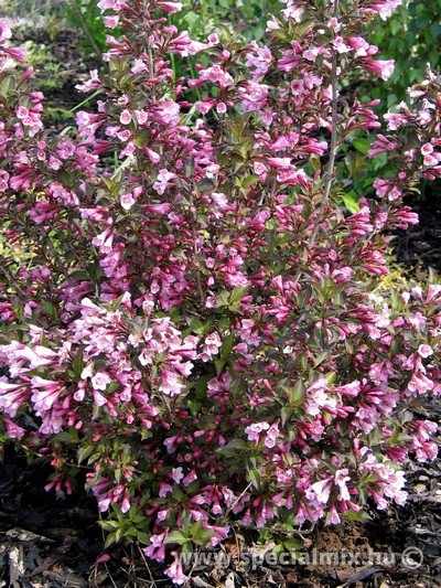 Weigela florida NANA PURPUREA