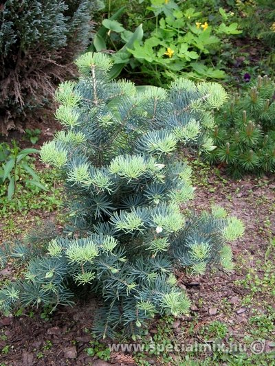 Abies concolor COMPACTA