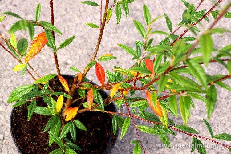 Cotoneaster salicifolius