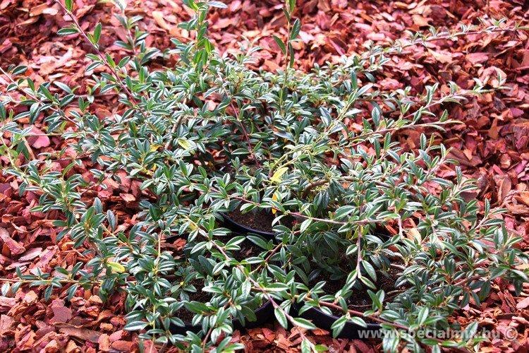 Cotoneaster salsalicifolius HERBST FLEUR