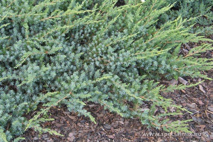 Juniperus conferta SLÁGER