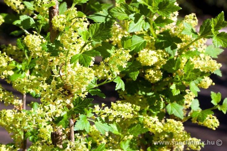 Ribes alpinum SCHMIDT