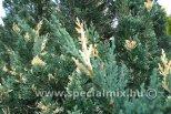 Juniperus chinensis VARIEGATA