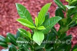Prunus laurocerasus GREEN TORCH ®