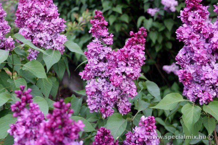 Syringa vulgaris PRINCE WOLKONSKY