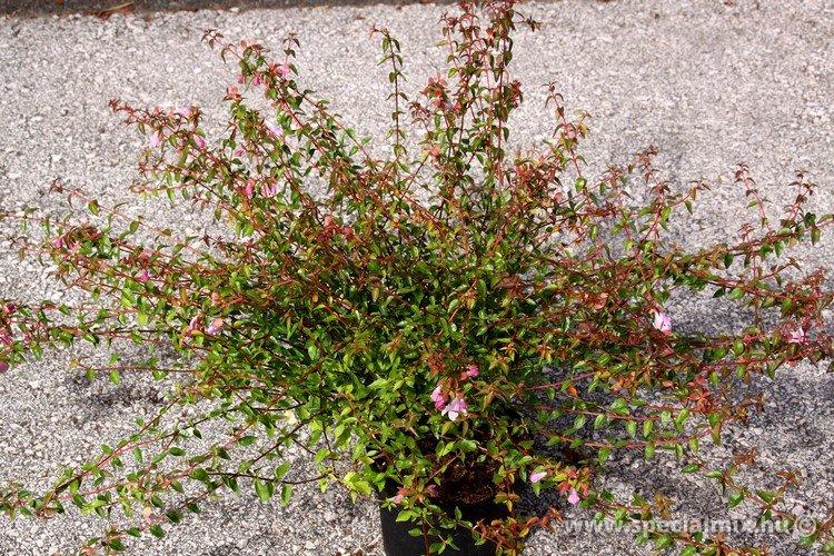Abelia grandiflora PINKY BELLS ®