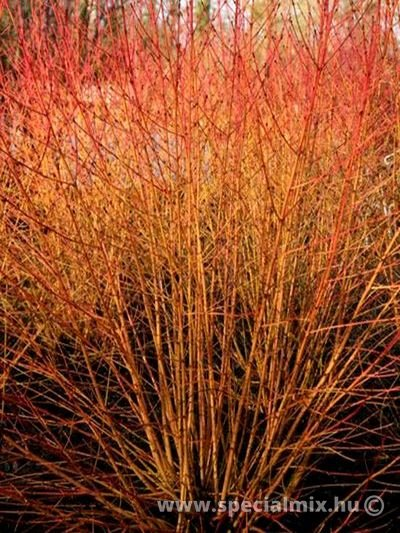Som, Cornus sanguinea WINTER BEAUTY