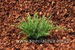 Juniperus horizontalis ANDORRA COMPACTA