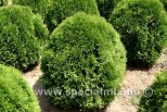 Thuja occidentalis LITTLE GEM