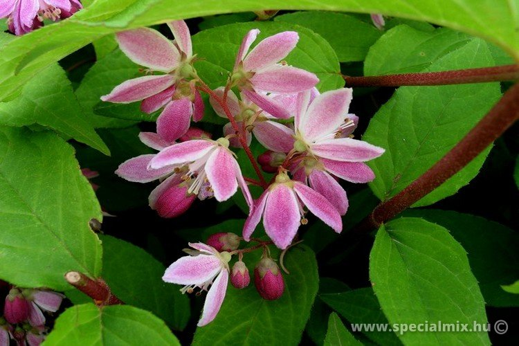 Deutzia x hybrida STRAWBERRY FIELDS'