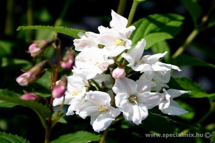 Gyöngyvirágcserje, Deutzia rosea CARMINEA