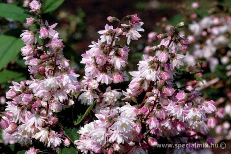 Gyöngyvirágcserje, Deutzia scabra CODSALL PINK