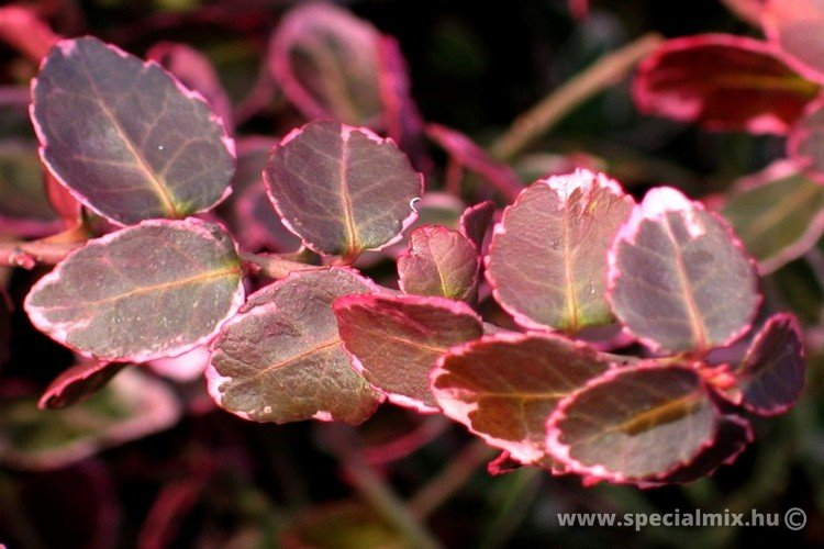 Euonymus fortunei EMERALD N GAIETY