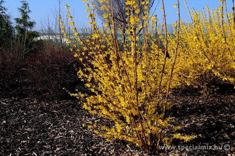 Aranyvessző, Forsythia x intermedia BEATRIX FARRAND