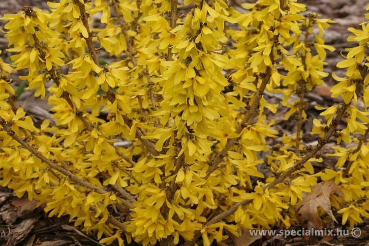 Aranyvessző, Forsythia x intermedia NIMBUS ®