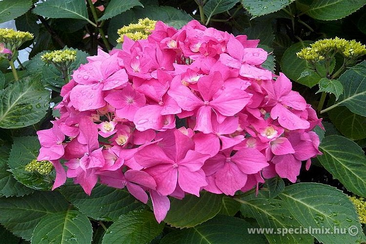 Hortenzia, Hydrangea macrophylla BOUQUET ROSE
