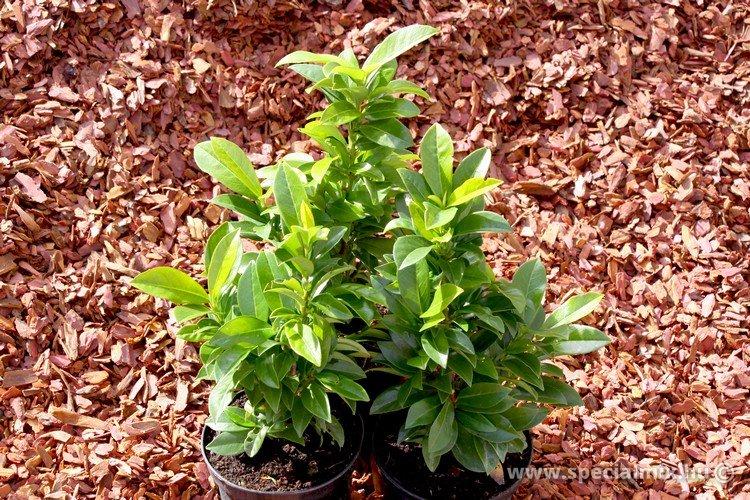 Prunus laurocerasus CIPPORA