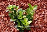 Prunus laurocerasus GABI