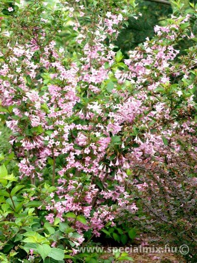 Weigela florida PINK PRINCESS