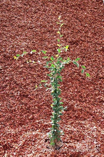 Madárbirs, Cotoneaster lacteus