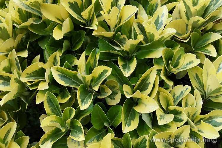 Kecskerágó, Euonymus japonicus AUREOMARGINATUS