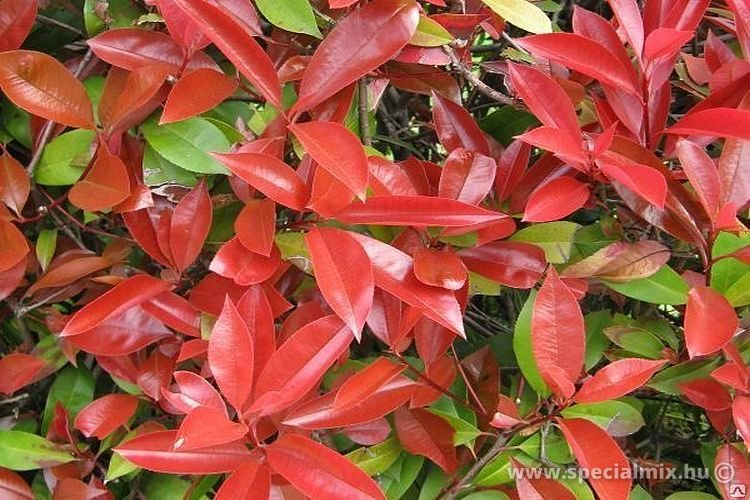 Photinia x fraseri DICKER TONY