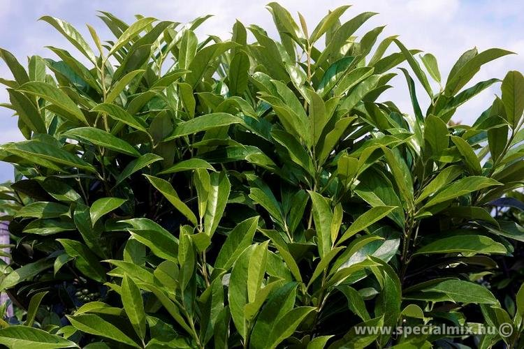 Prunus laurocerasus CAUCASICA FONTANETTE