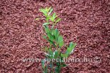 Prunus laurocerasus CAUCASICA