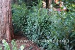 Prunus laurocerasus GENOLIA®