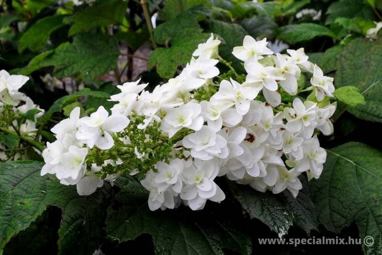 Hortenzia, Hydrangea quercifolia SNOWFLAKE