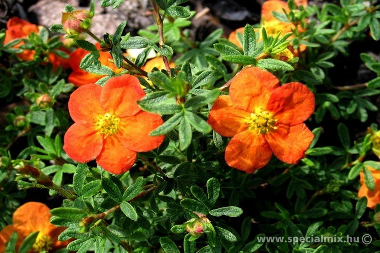 Potentilla fruticosa MARIAN RED ROBIN