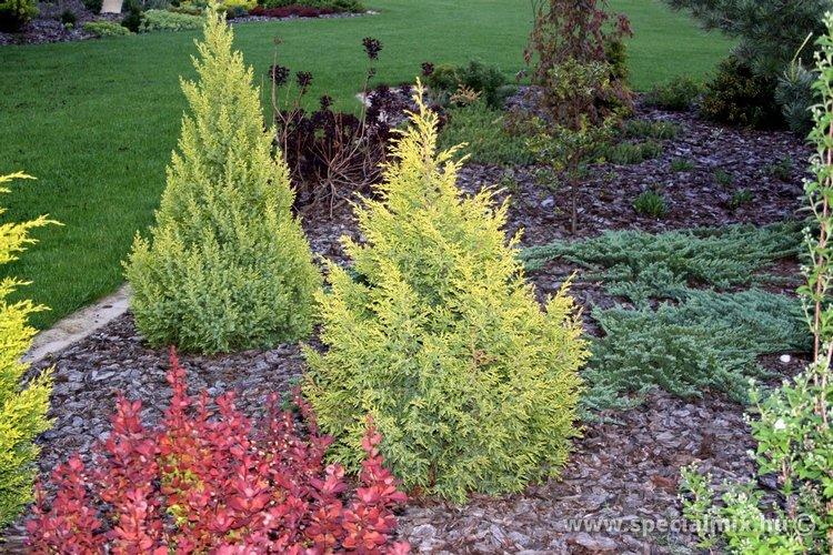 Boróka, Juniperus chinensis ELDORADO