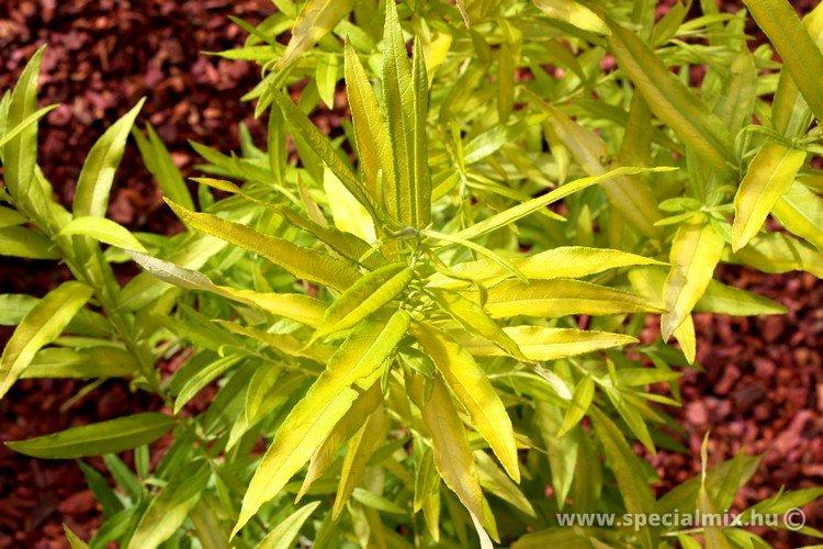 Salix udensis GOLDEN SUNSHINE ®