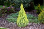 Juniperus chinensis WINTER BRONZE