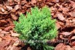Juniperus communis SENTINEL GÖMB