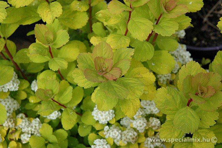 Spiraea betulifolia TOR GOLD ®
