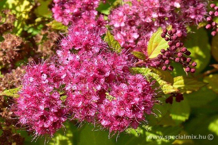 Spiraea japonica FIRELIGHT