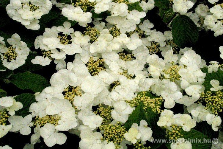 Viburnum plicatum MARIESII GREATSTAR