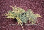 Juniperus x media CARBERY GOLD