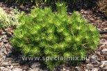 Pinus densiflora LOW GLOW