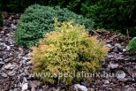 Thuja occidentalis FIRE CHIEF ®