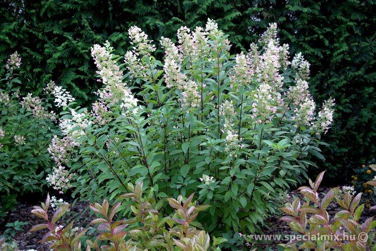Hydrangea paniculata TARDIVA