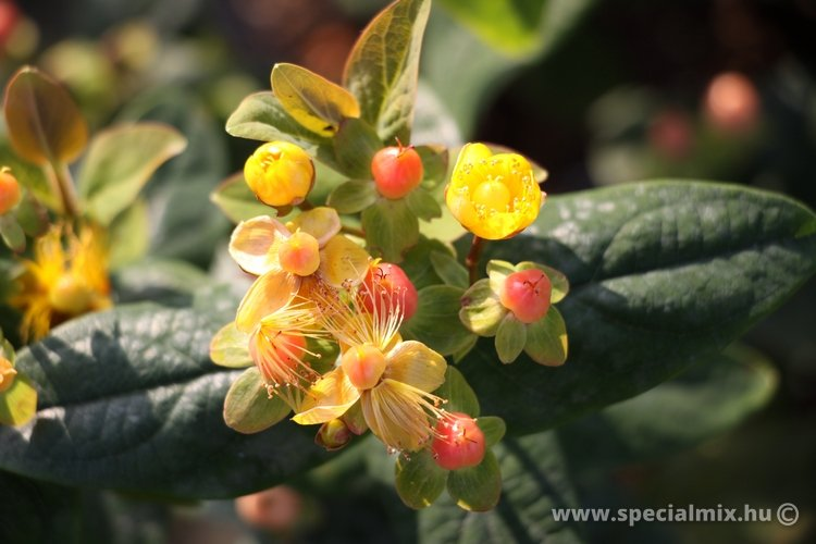 Orbáncfű, Hypericum MAGICAL BEAUTY ®
