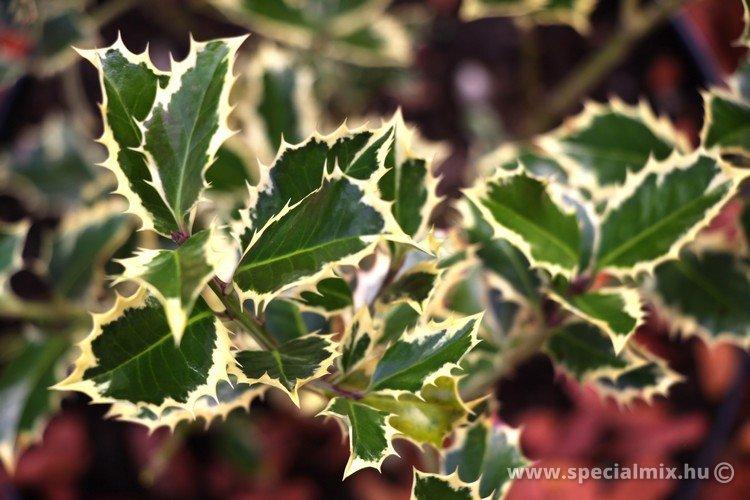 Ilex aquifolium HANDSWORTH NEW SILVER