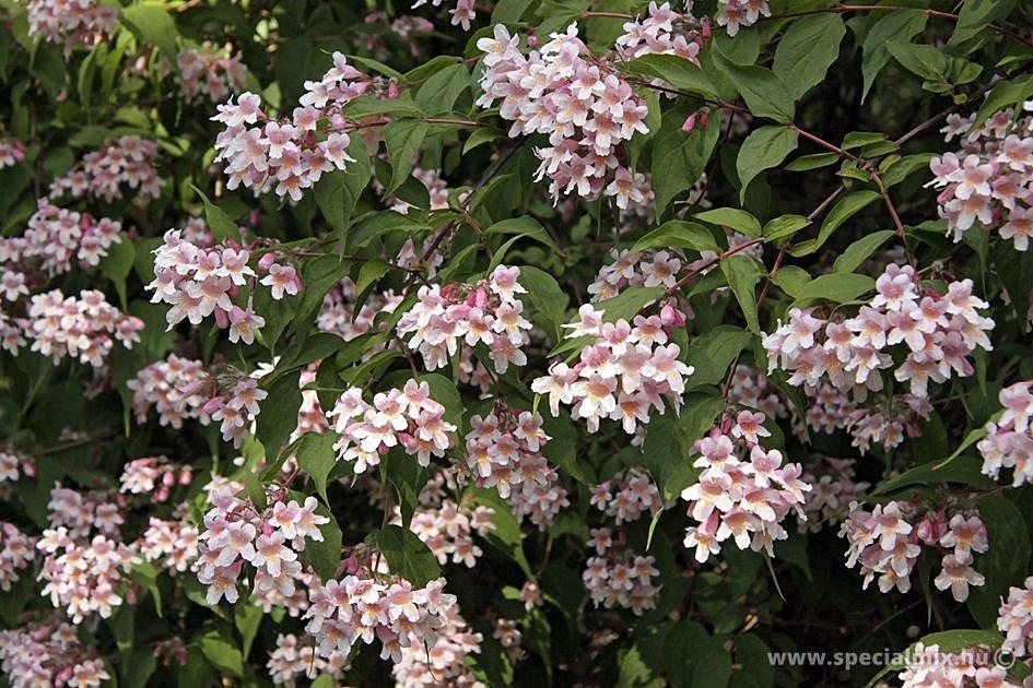 Viráglonc, Kolkwitzia amabilis