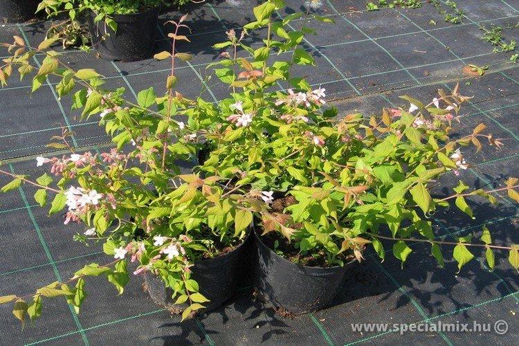 Viráglonc, Kolkwitzia amabilis PINK CLOUD