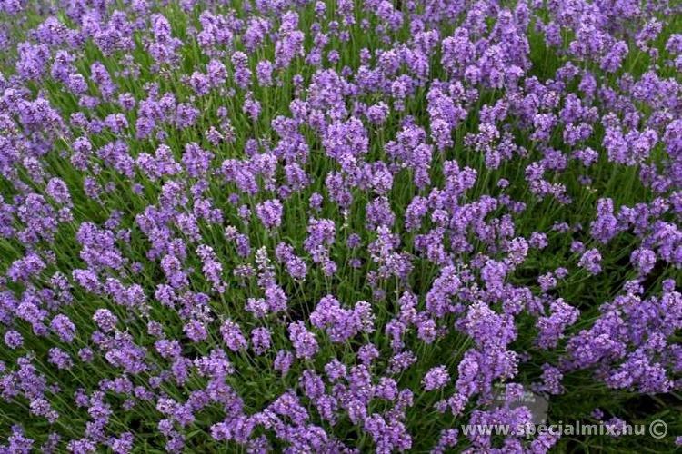 Levendula, Lavandula angustifolia MUNSTEAD STRAIN